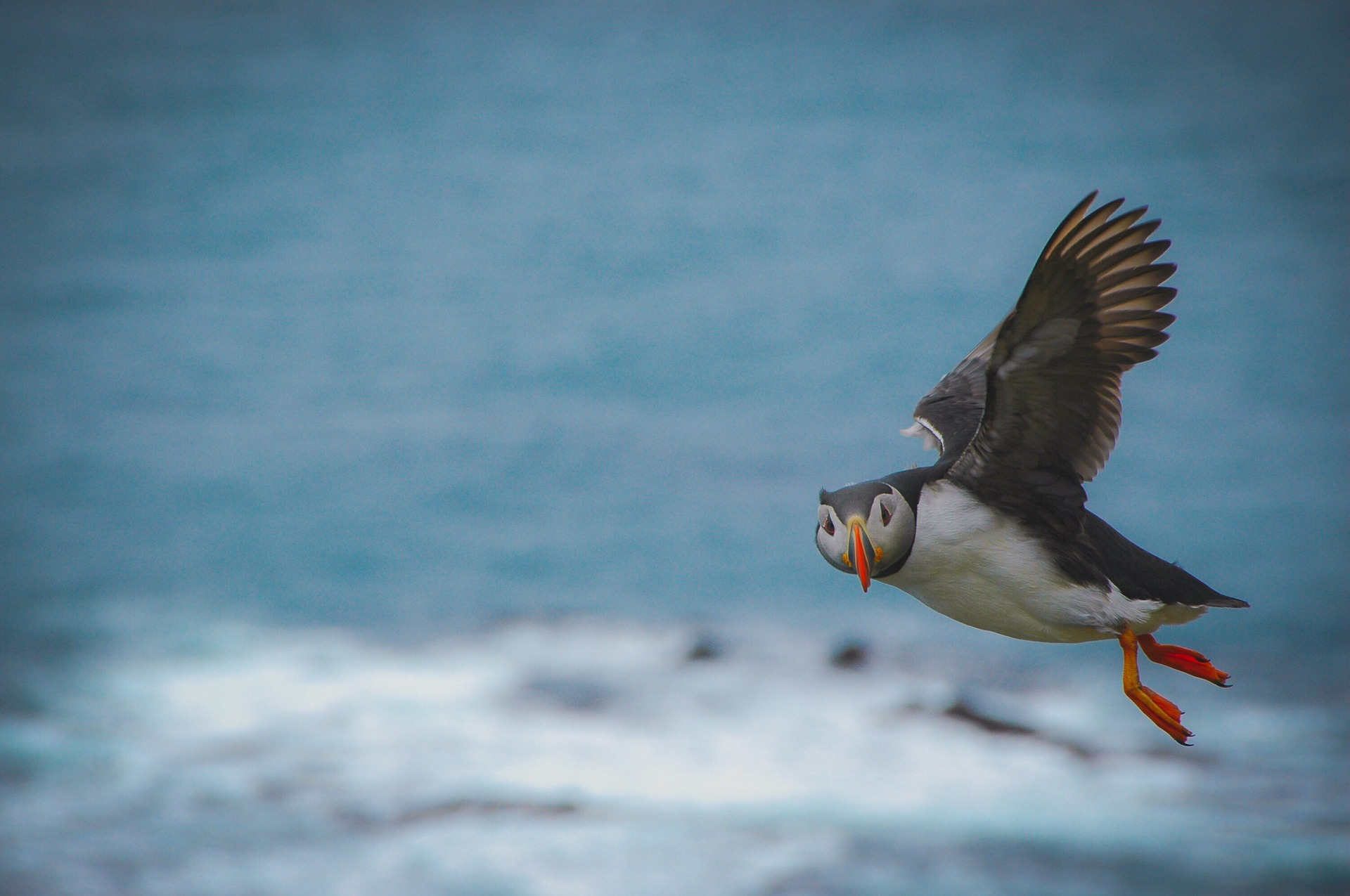 Puffin flying in Iceland, ocean on the background