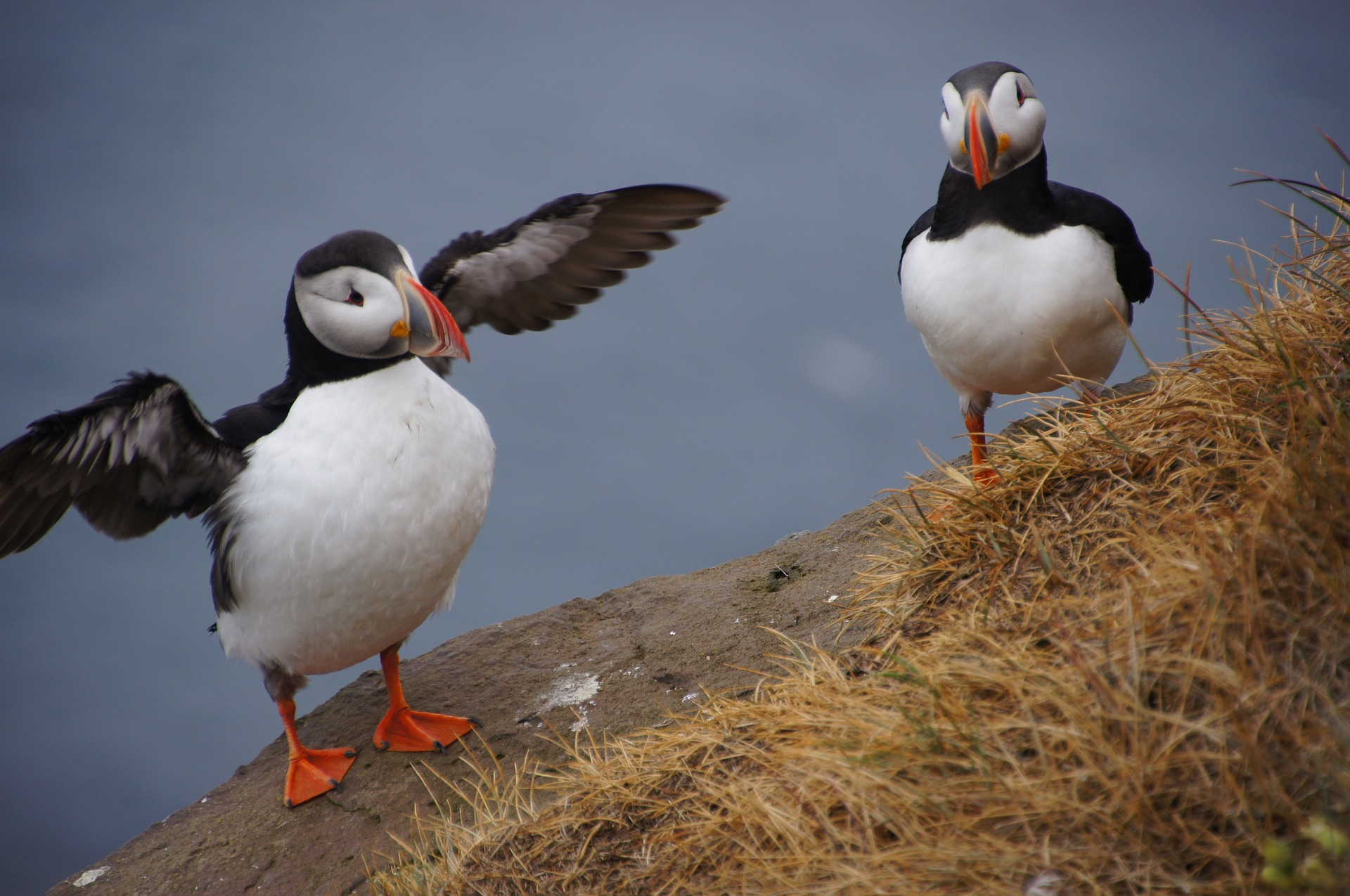 Two puffin on a cliff in Iceland