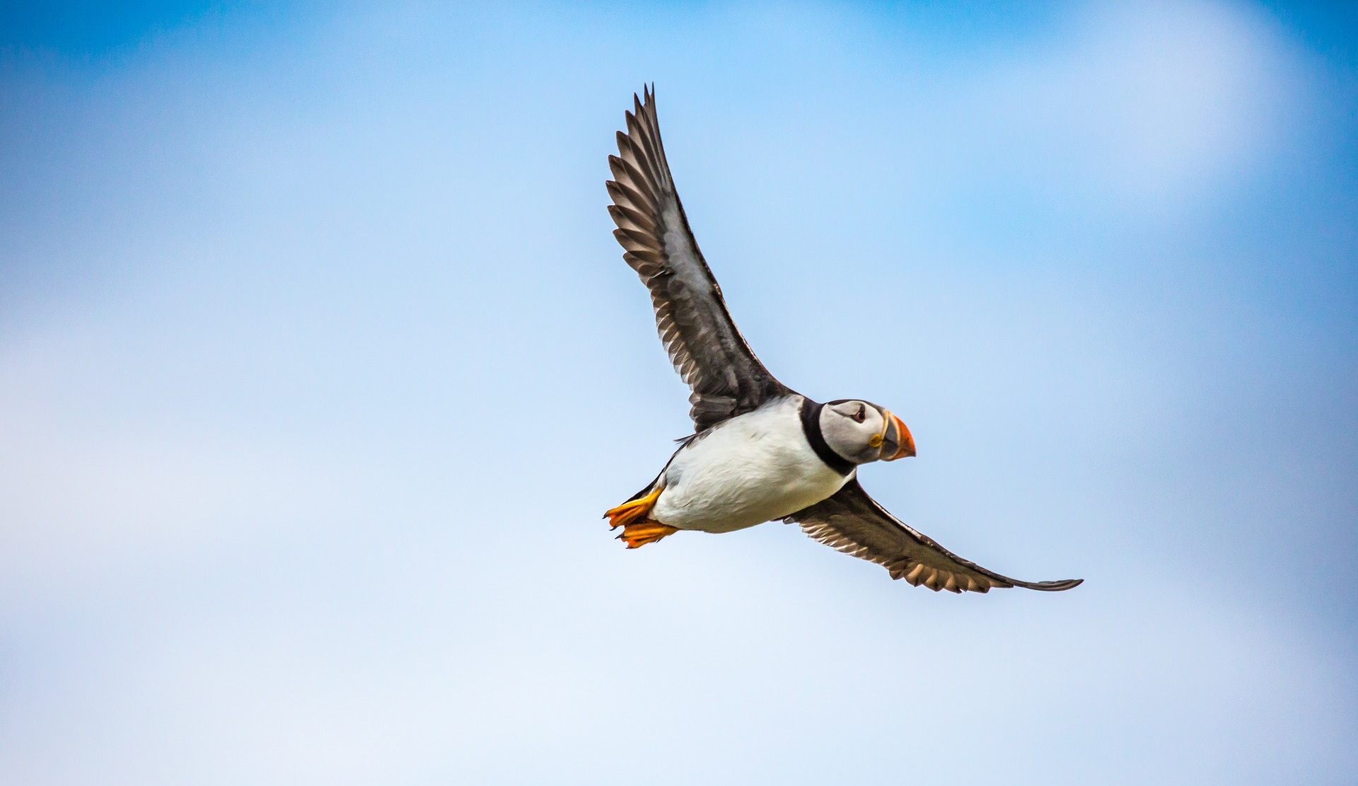 flying puffin in iceland, blue sky