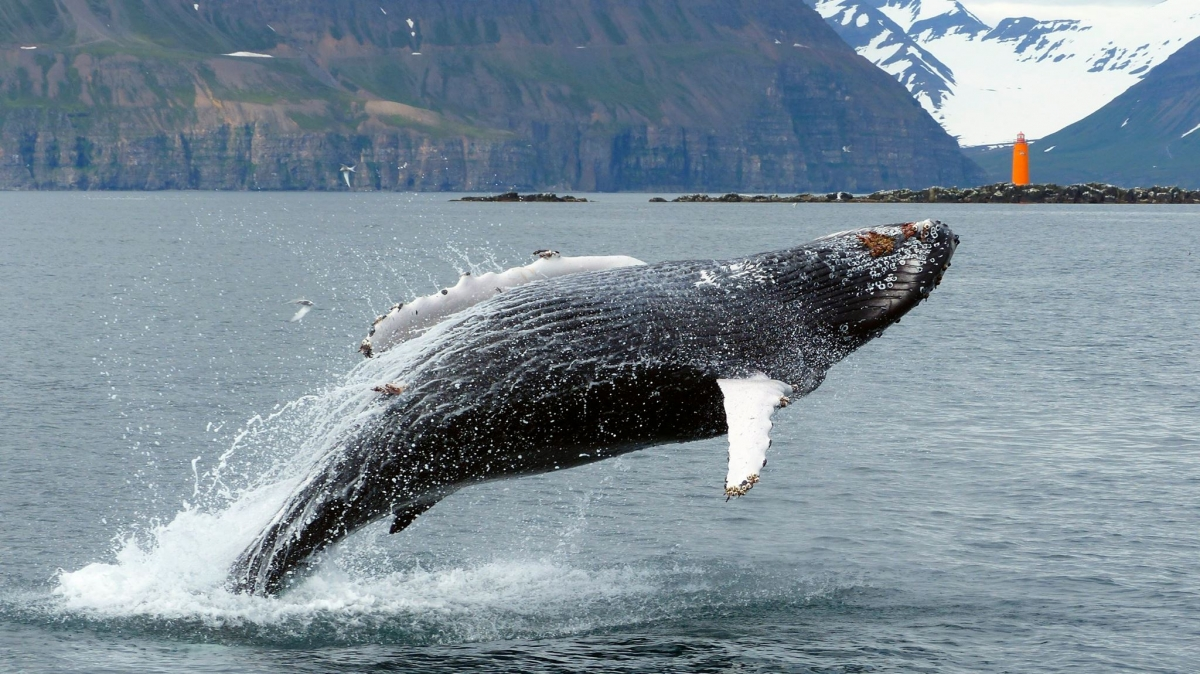 A humpback whale jumping out for the water
