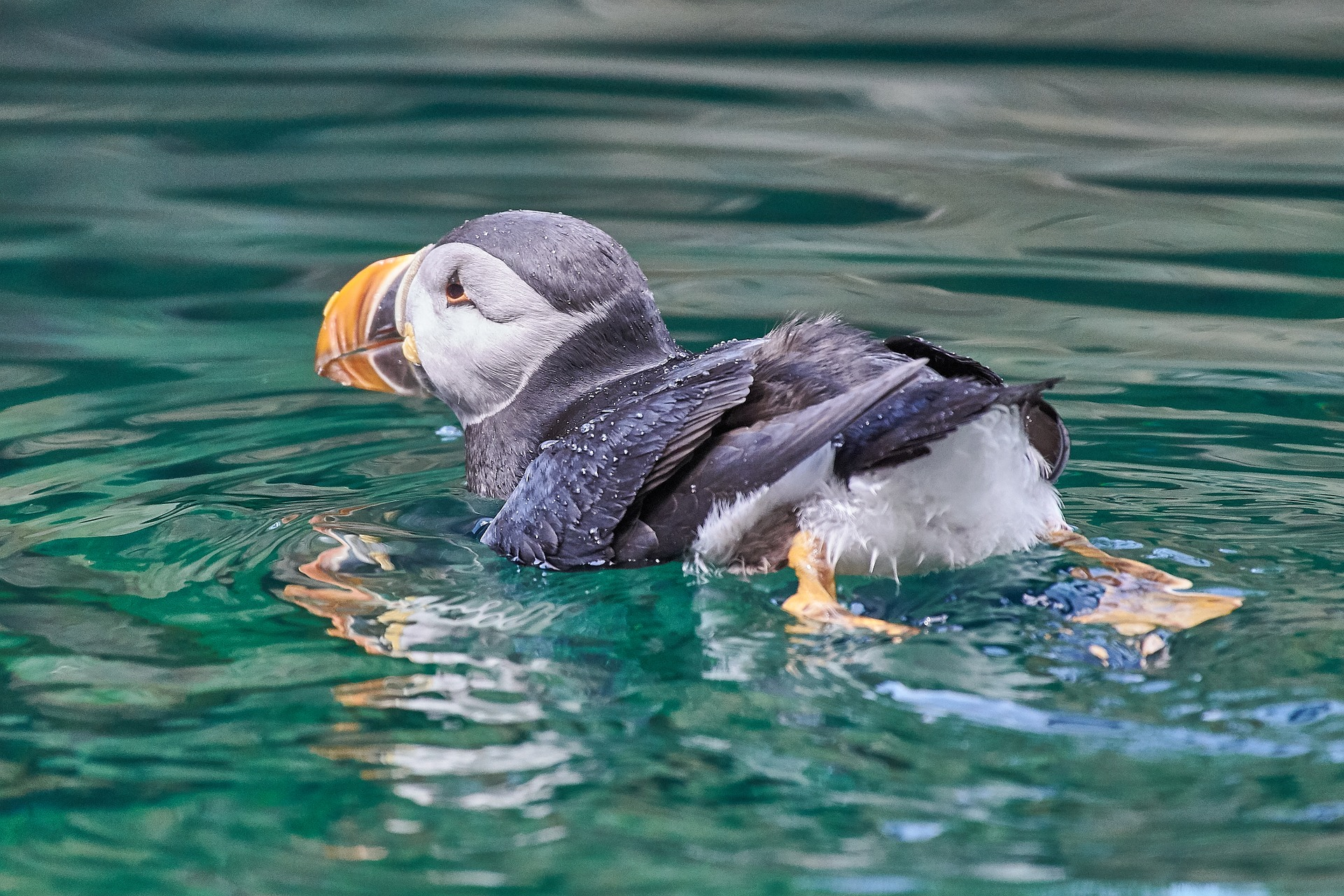 Puffin bathing in the sea