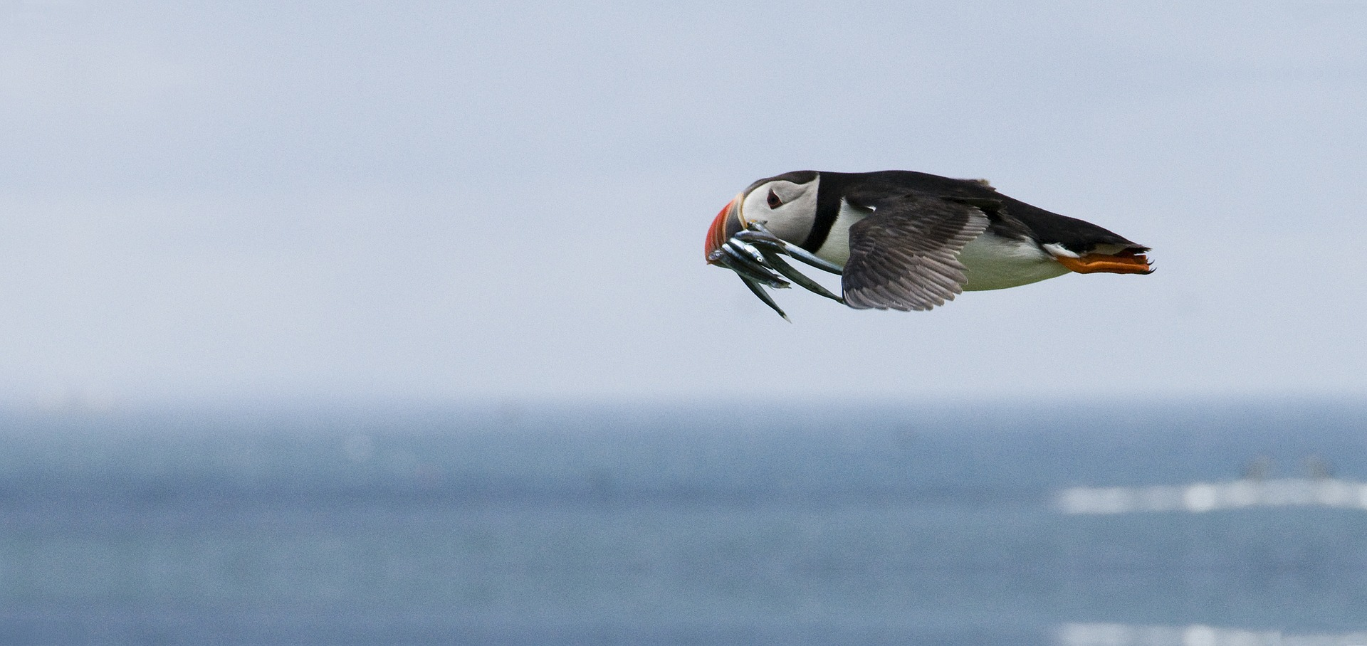Flying bird with fish in its beak