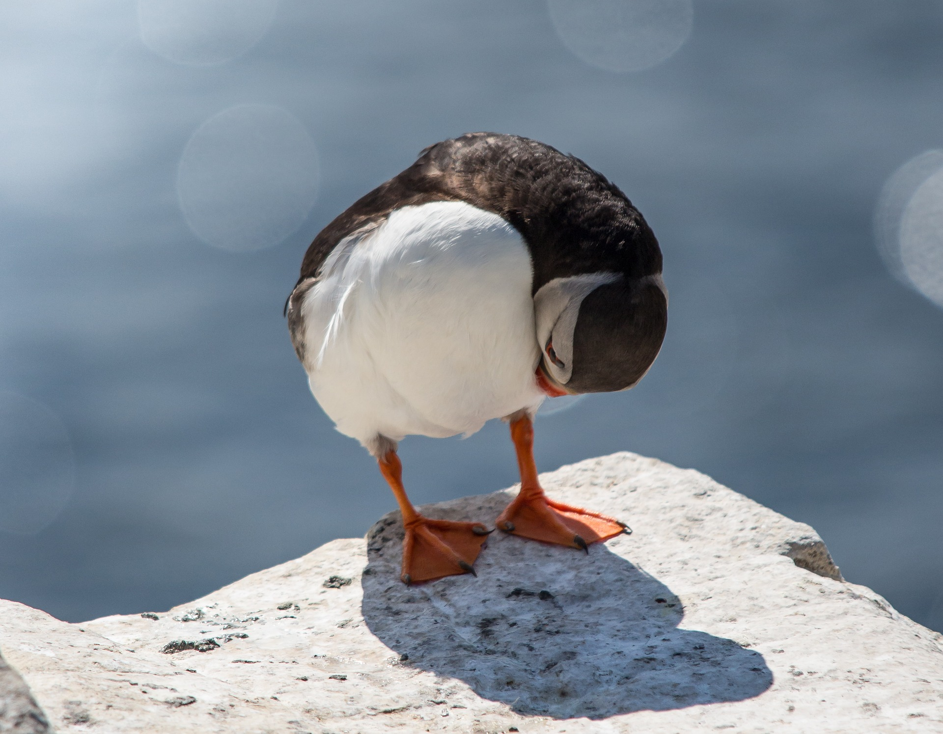 Icelandic puffin on a rock