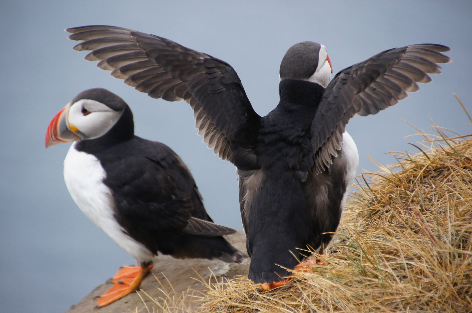 Two puffins in iceland, one spreads its wings