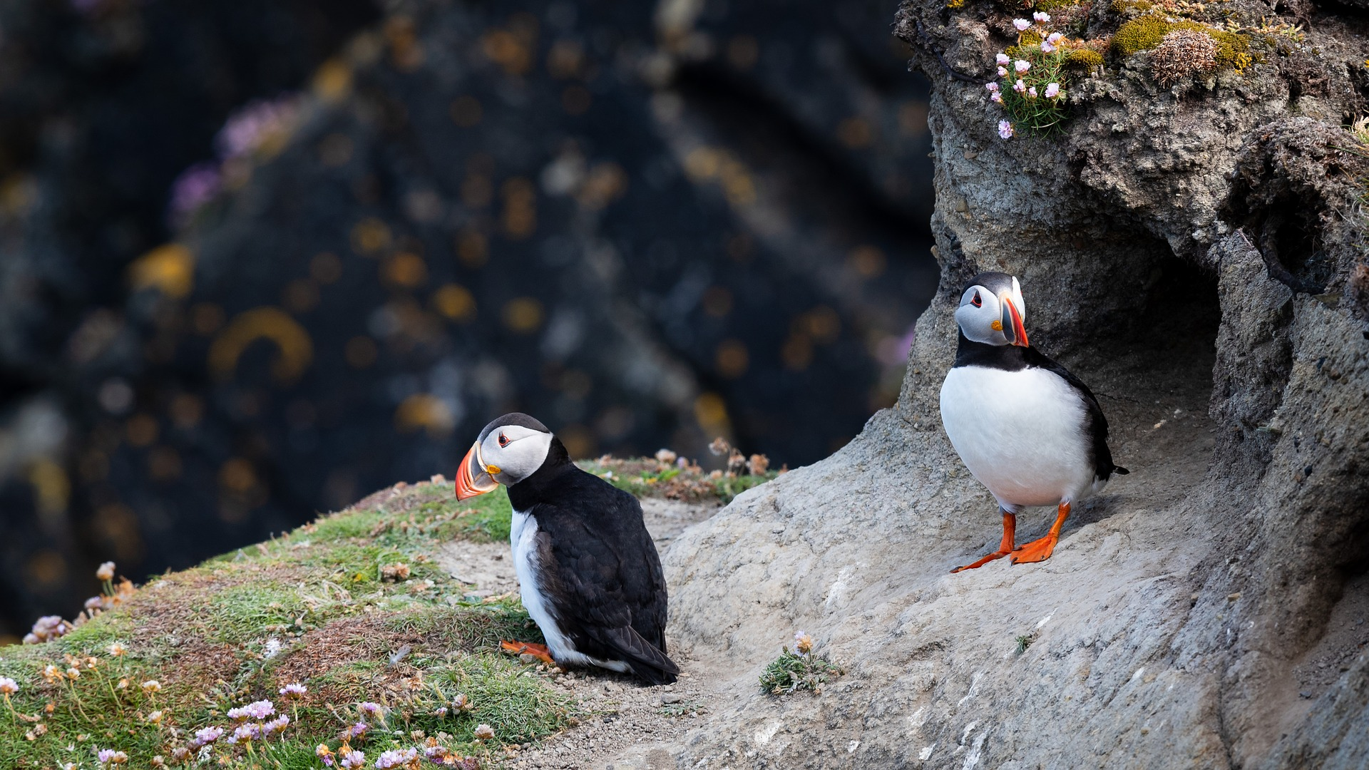 two puffins on a cliff in Iceland
